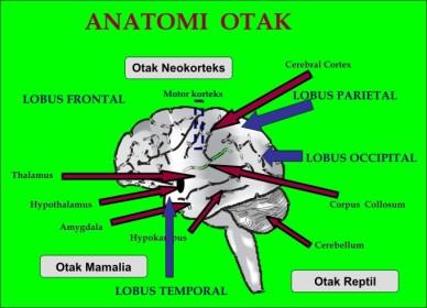 anatomi-otak.jpg